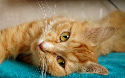 5 choses à savoir sur les chats roux