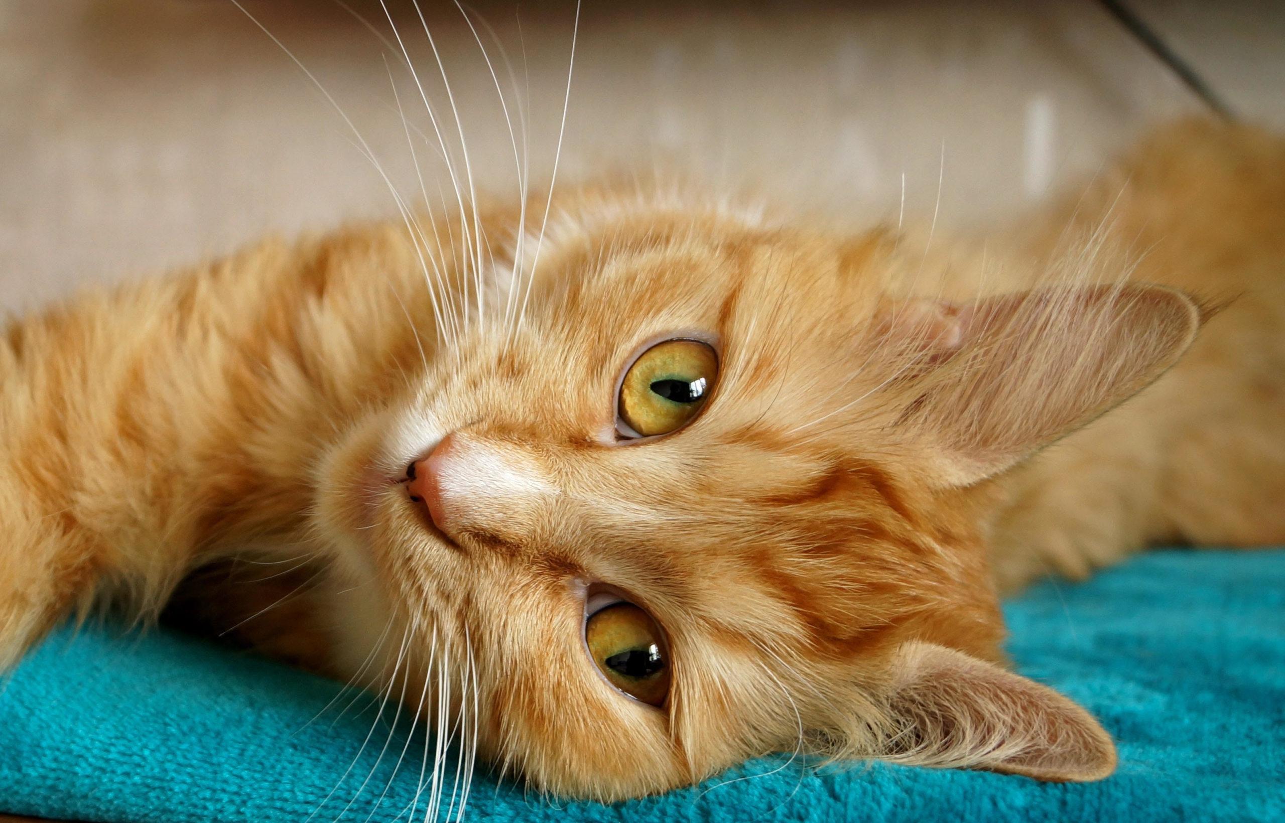 chat roux allongé au pelage flamboyant
