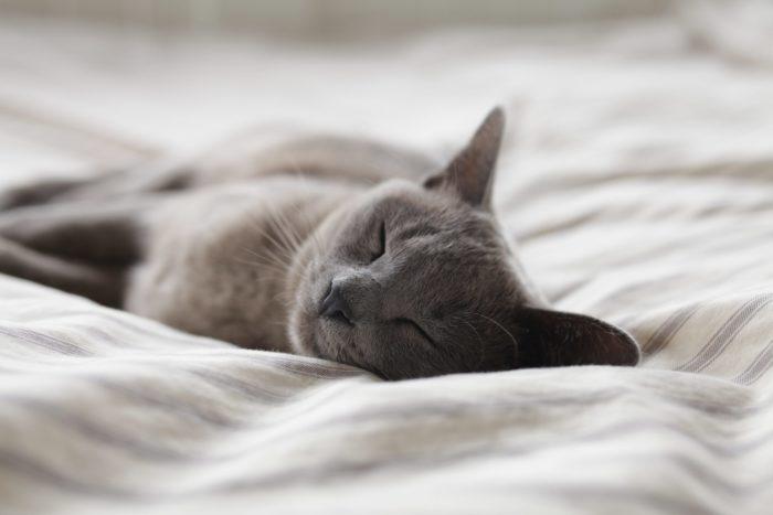 chat gris dort sur le lit