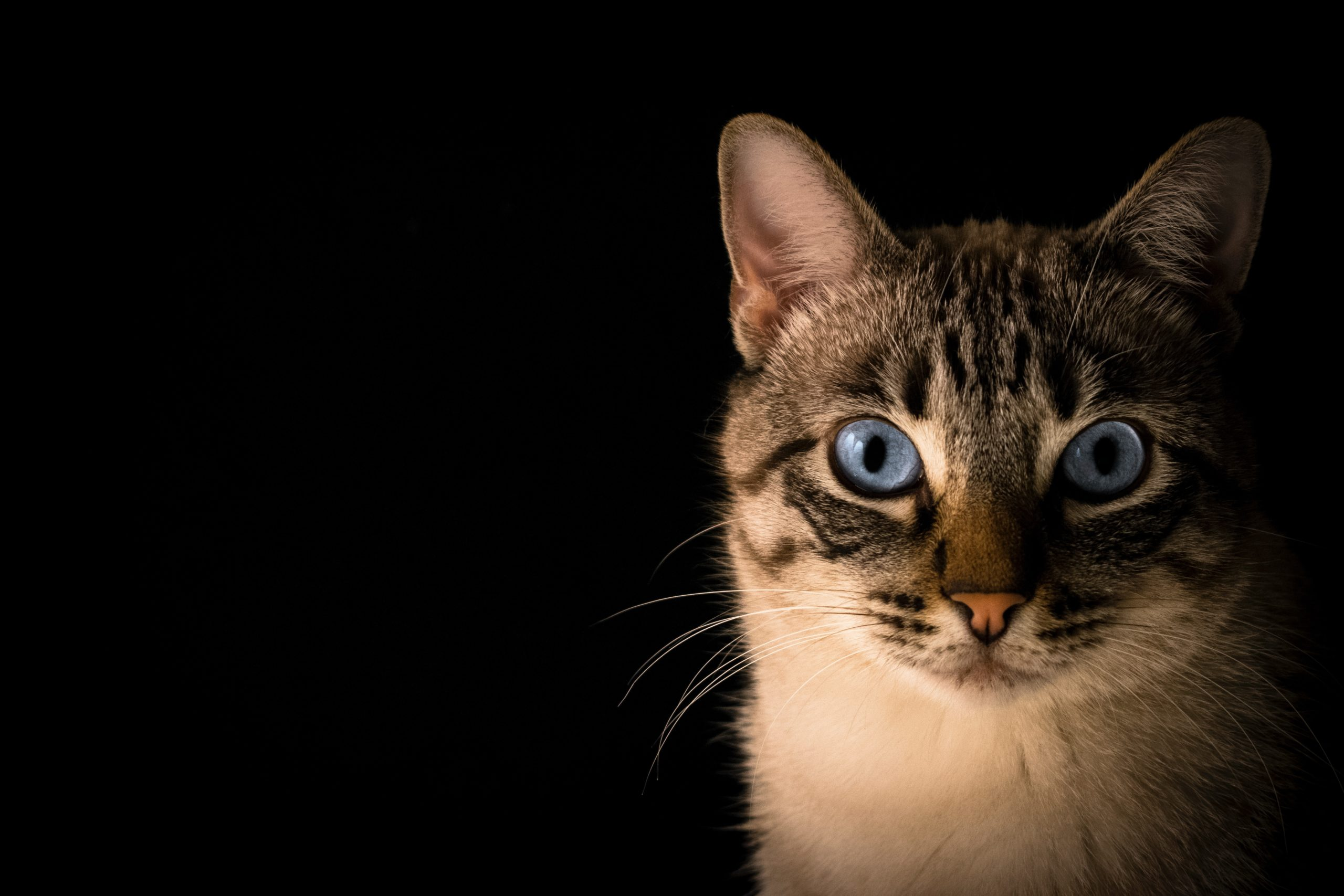 chat sur fond noir